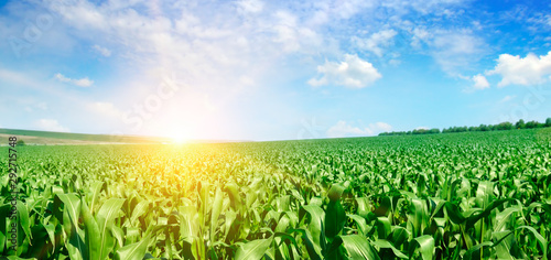 Fototapeta Green corn field and bright sunrise against the blue sky