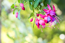 Purple And Pink Fuchsia Flower With Green Background For Spring Summer