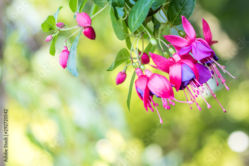 Valokuva Purple and pink Fuchsia flower with green background for Spring Summer
