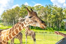 Zoo Visitors Feeding A Giraffe From Raised Platform
