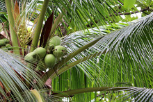 Coconuts Growing On A Coconut ...