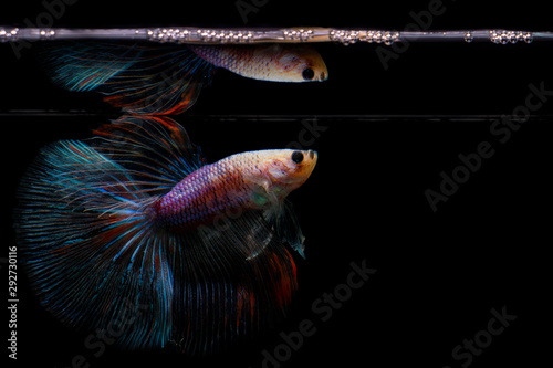 Photo Crowntail Betta fish water surface reflection on black background