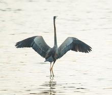 Grey Heron With Wings Open