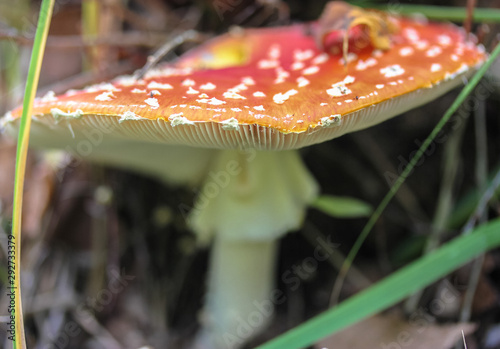 Photo We collect mushrooms in the forest in autumn, fly agaric