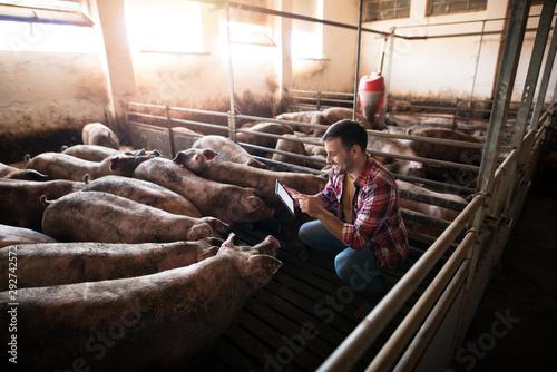 Farmer and pigs Wallpaper Mural