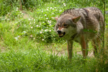 Angry Wolf In The Forest