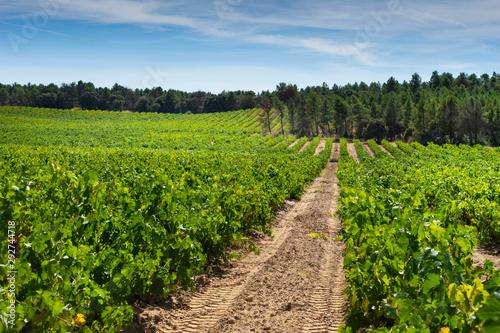 Campo de viñas en la zona de Ribera del Duero en Burgos, España