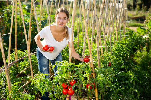 Young woman gardener picking harvest of fresh tomatoes