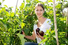 Girl Farmer Harvesting Eggplant In The Garden