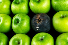 Rotten Apple And Fresh Apple. The Corruption Concept. The Concept Of Bad People In Society. Rotten Apple Surrounded By Fresh.