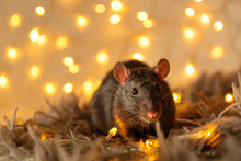 Black Rat With A Beautiful Pink Nose And Ears Sits On A Gray Warm Plaid Against A Background Of Yellow Blurry Lights