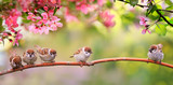 Fototapeta Kwiaty - small funny Sparrow Chicks sit in the garden surrounded by pink Apple blossoms on a Sunny may day