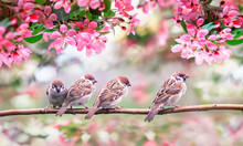 Small Birds Sparrows Surrounded By Pink Apple Blossoms In A Sunny May Garden Sitting On A Branch