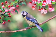 Portrait Of Bright Bird Tit Lapis Lazuli Sits In A Garden Surrounded By Pink Apple Blossoms On A Sunny May Day
