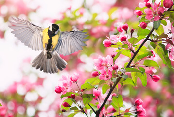 portrait bird tit flies widely spreading its wings in the garden surrounded by pink Apple blossoms on a Sunny may day