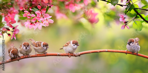 small funny Sparrow Chicks sit in the garden surrounded by pink Apple blossoms on a Sunny may day