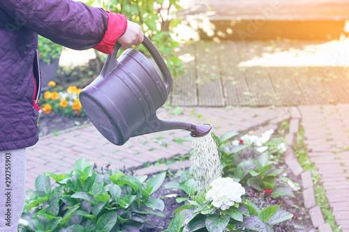 Fototapeta Senior woman watering the flowers in the garden. Senior woman hands watering some flowers at her garden. obraz na płótnie