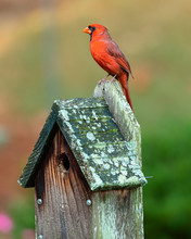 A Beautiful Red Cardinal Perched On Top Of A Birdhouse