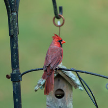 /a Red Cardinal Perched On A B...
