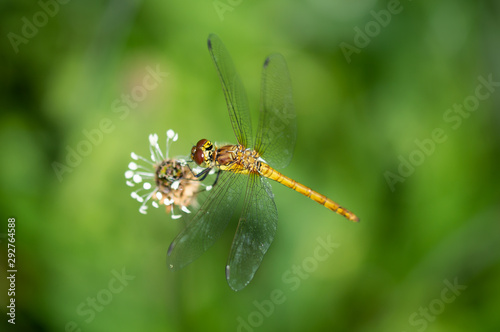 Valokuvatapetti Common darter dragonfly clinging to a seed head