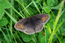 Meadow Brown Butterfly Among Grass And Clover
