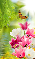 Panel Szklany Podświetlane Tulipany Image of many flowers of tulips in a garden closeup. Butterfly flies above the surface of the water