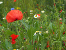 Bright Red Corn Poppy Flowers With Buds In A Summer Meadow Background
