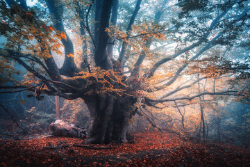 Old magical tree with big branches and orange leaves in blue fog in rain. Autumn colors. Mystical foggy forest. Scenery with fairy forest in fall. Colorful landscape with beautiful misty old tree