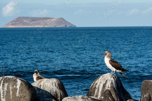 Stampa su Tela Blue-footed booby at the Galapagos Islands.