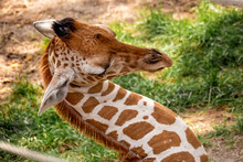 Lovely Young Giraffe Sleeping At The Zoo