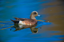 American Widgeion Duck With Reflection In Blue Pond