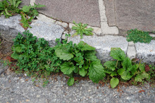 Weed Control In The City. Dandelion And Clover On The Sidewalk Between The Paving Bricks