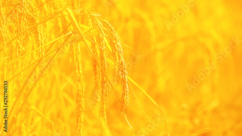 rice field background with blank space