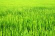 Leinwanddruck Bild - landscpae of fresh rice plantation background