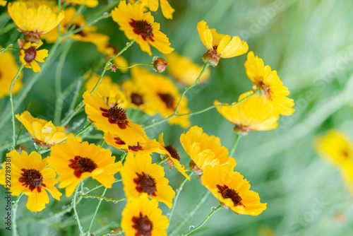 Beautiful coreopsis tinctoria flower blooming in the summer Wallpaper Mural