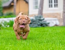 Dogue De Bordeaux Puppy Running Through The Green Summer Grass