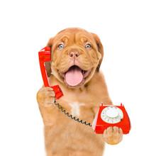 Mastiff Puppy Using The Phone ...