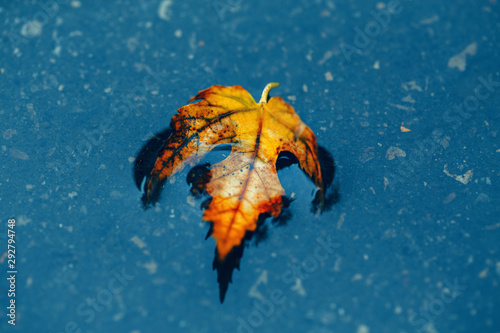 Beautiful old withered torn yellow autumn maple leaf in puddle on ground under rain Canvas Print