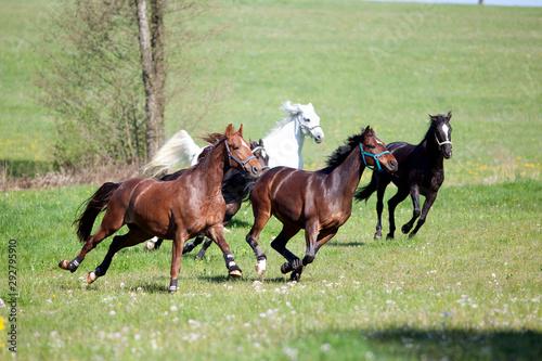 Fotografía Pferde galoppieren und rennen frei auf der Wiese