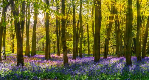 Foto op Canvas Bestsellers Bluebell woods - sunlight casts shadows across purple flowers