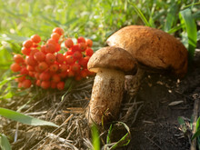 Two Mushrooms Grow Next To Fallen Rowan Berries On A Background Of Green Grass In Warm And Sunny Weather