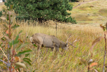 Large Buck Eating Grass On Hil...