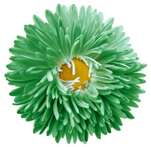 Green Astra Flower,white Isolated Background With Clipping Path.    Closeup.  No Shadows.  For Design.   Nature.