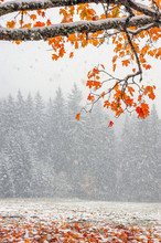 First Snow In The Forest In Th...