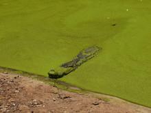 Crocodile In The เreen Algae