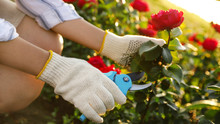 Woman Pruning Rose Bush Outdoo...
