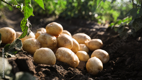 Pile of ripe potatoes on ground in field Tapéta, Fotótapéta