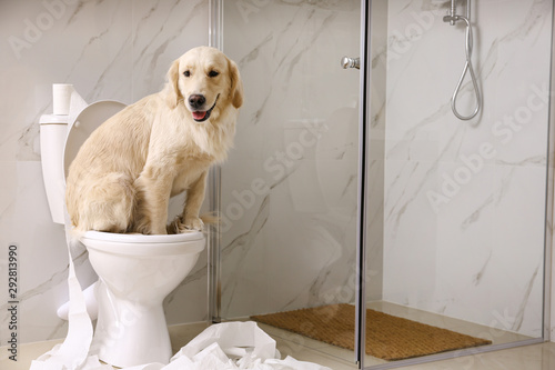 Cute Golden Labrador Retriever sitting on toilet bowl in bathroom. Space for text - 292813990