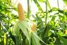 Ripe Corn Cobs In Field On Sun...