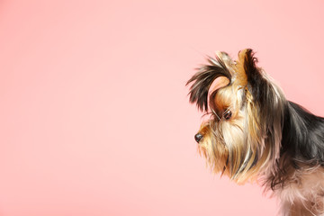 Adorable Yorkshire terrier on pink background, space for text. Cute dog